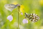 Senfweißling und Aurorafalter (Anthocharis cardamines) 10