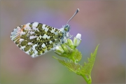 Aurorafalter (Anthocharis cardamines) 04