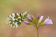 Aurorafalter (Anthocharis cardamines) 05