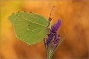 Mittelmeer-Zitronenfalter (Gonepteryx cleopatra) 02