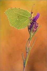 Mittelmeer-Zitronenfalter (Gonepteryx cleopatra) 03