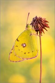 Postillon (Colias croceus) 08