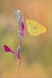 Postillon (Colias croceus) 06
