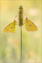 Postillon (Colias croceus) 07