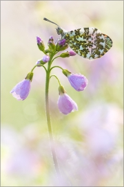 Aurorafalter (Anthocharis cardamines) 14