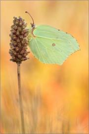 Zitronenfalter (Gonepteryx rhamni) 04