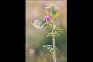 Kleiner Kohlweißling (Pieris rapae) 01