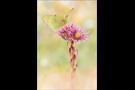 Alpen-Gelbling (Colias phicomone) 03