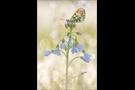Aurorafalter (Anthocharis cardamines) 20