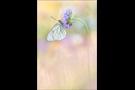 Baumweißling (Aporia crataegi) 06