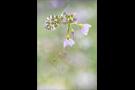 Aurorafalter (Anthocharis cardamines) 22