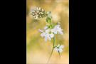 Aurorafalter (Anthocharis cardamines) 23