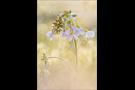 Aurorafalter (Anthocharis cardamines) 25