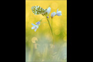 Aurorafalter (Anthocharis cardamines) 27