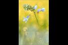 Aurorafalter (Anthocharis cardamines) 27