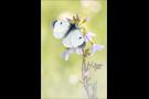 Aurorafalter (Anthocharis cardamines) 24
