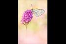 Baumweißling (Aporia crataegi) 07