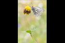 Bergweissling (Pieris bryoniae) 01
