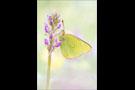 Hochmoor Gelbling (Colias palaeno) 02