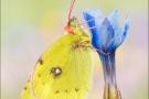 Alpen-Gelbling (Colias phicomone) 06