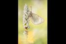 Alpen-Gelbling (Colias phicomone) 04