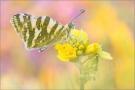 Grüngestreifter Weißling (Euchloe belemia) 03
