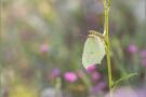 Zitronenfalter (Gonepteryx rhamni) 09