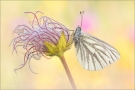 Bergweissling (Pieris bryoniae) 02