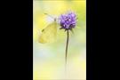 Karstweißling (Pieris mannii) 05
