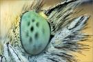 Kleiner Kohlweißling Auge (Pieris rapae) 01