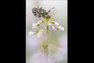 Aurorafalter (Anthocharis cardamines) 15