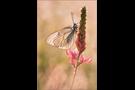 Baumweißling (Aporia crataegi) 04