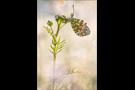 Aurorafalter (Anthocharis cardamines) 19