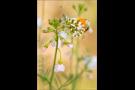 Aurorafalter (Anthocharis cardamines) 17