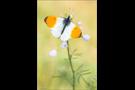 Aurorafalter (Anthocharis cardamines) 18