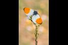 Aurorafalter (Anthocharis cardamines) 13