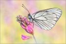 Baumweißling (Aporia crataegi) 05