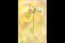 Alpen-Gelbling (Colias phicomone) 01