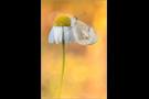 Wüsten-Aurora (Colotis evagore) 01
