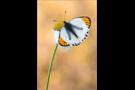 Wüsten-Aurora (Colotis evagore) 02