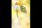 Östlicher Gesprenkelter Weißling (Euchloe ausonia) 01