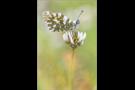Gesprenkelter Gebirgs-Weissling (Euchloe simplonia) 01