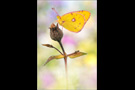 Goldene Acht (Colias hyale) 01