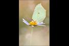 Zitronenfalter (Gonepteryx rhamni) 02