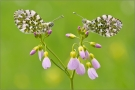 Aurorafalter (Anthocharis cardamines) 08