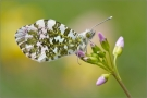 Aurorafalter (Anthocharis cardamines) 01