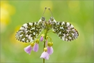 Aurorafalter (Anthocharis cardamines) 02