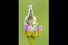 Aurorafalter (Anthocharis cardamines) 03