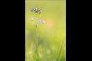 Aurorafalter (Anthocharis cardamines) 09