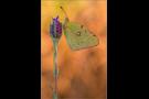 Postillon (Colias croceus) 01